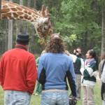 giraffe-feeding