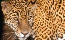 jaguar-lg