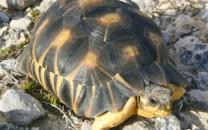 ratiated-tortoise-lg