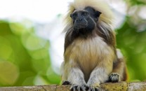 cotton-top-tamarin-main