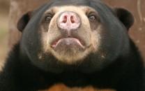 southeast-asian-bear1