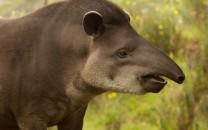 tapir-main