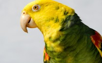 yellow-headed-parrot-main