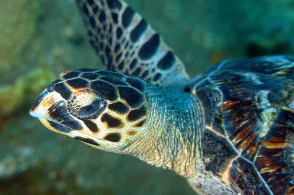C-EWCL Marine Turtle