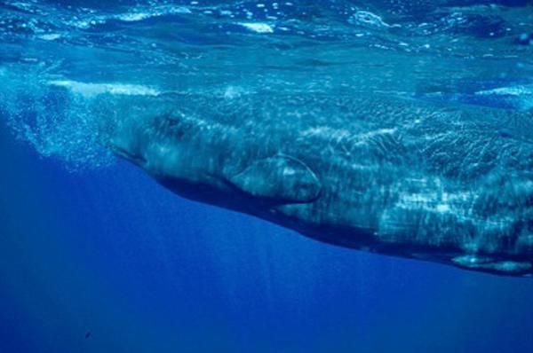 C-EWCL Whale