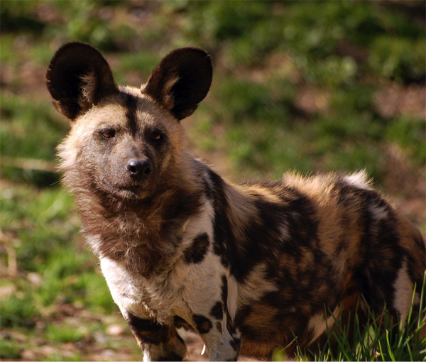 EWCL - Class 5 - African Painted Dog