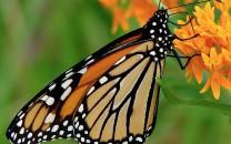 Class 6 - Monarch Butterfly