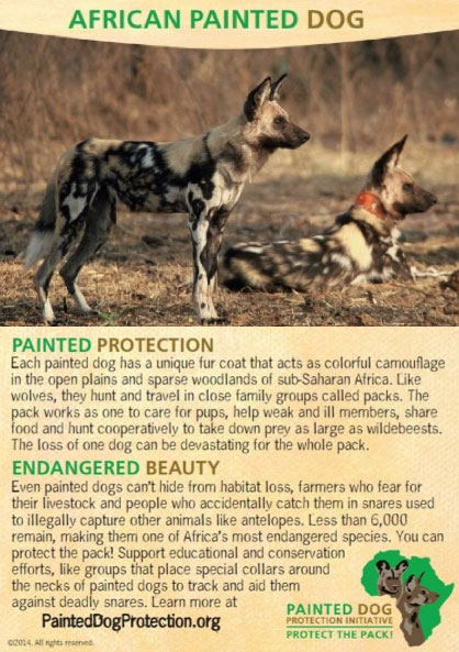 african-painted-dog---trading-cards