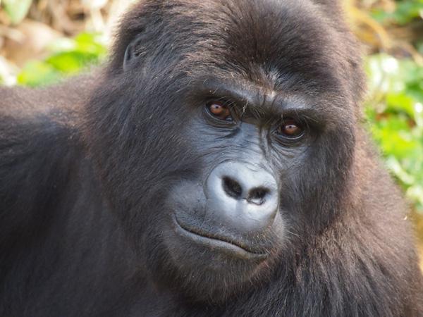 class7-graurs-gorillas